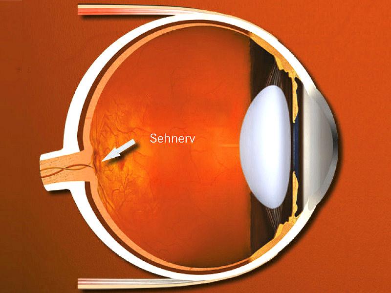 Das Auge in der Querschnittdarstellung