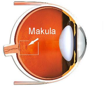 Position der Makula im Auge